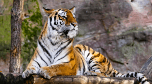 animal-tigre-puissance-energie-peps